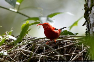 Endangered 'I'iwi at Hakalau | Photo by John Kormendy