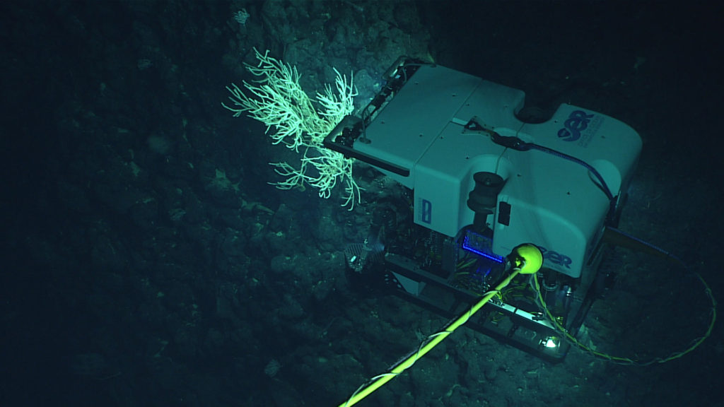 D2 investigates a coral on an unnamed seamount west of Salmon Bank.